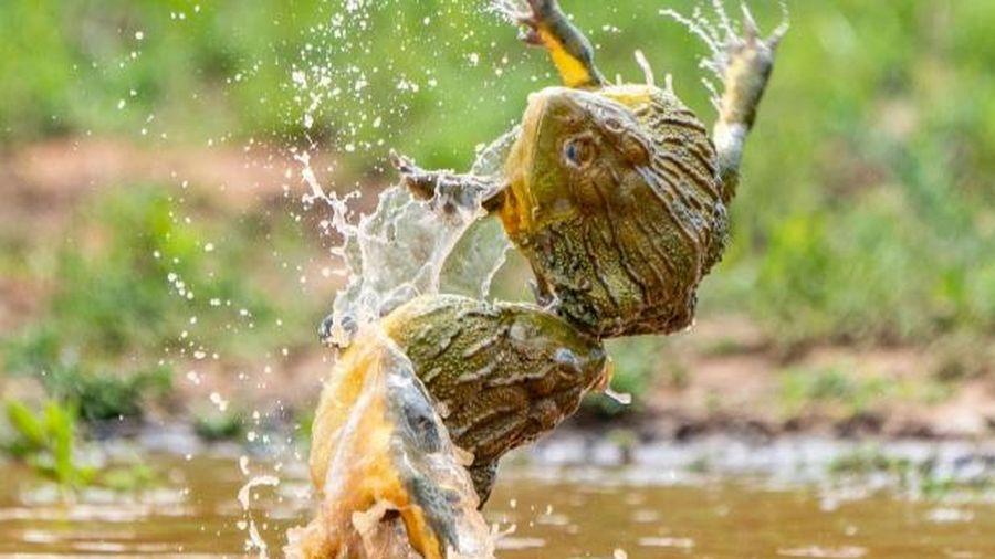 Hai con ếch đực giao chiến dữ dội để giành bạn tình trong cảnh tượng vô cùng hiếm gặp