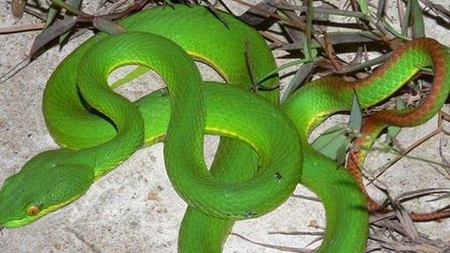 Ra vườn hái rau, người đàn ông bị rắn lục đuôi đỏ cắn nguy kịch