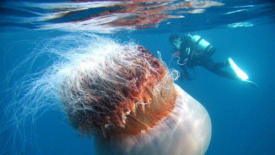 Bí ẩn vết cắn chí mạng của loài sứa nặng tới 100 kg