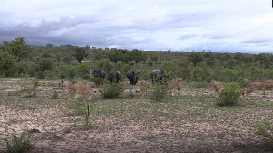 CLIP: Tê giác 'cà khịa' đàn sư tử và cái kết