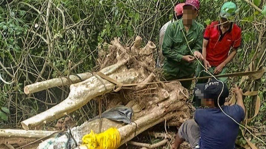 Nhức nhối nạn đào cây rừng