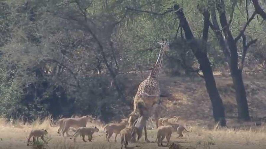 CLIP: Hươu cao cổ bỏ mạng trong vòng vây của 12 con sư tử