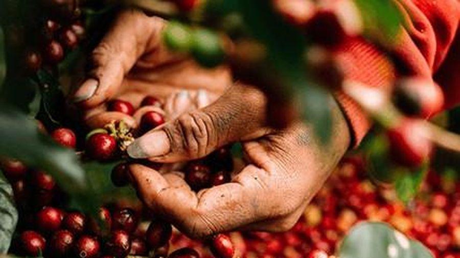 Giá cà phê và tiêu đồng loạt tăng trong ngày hôm nay 25/9