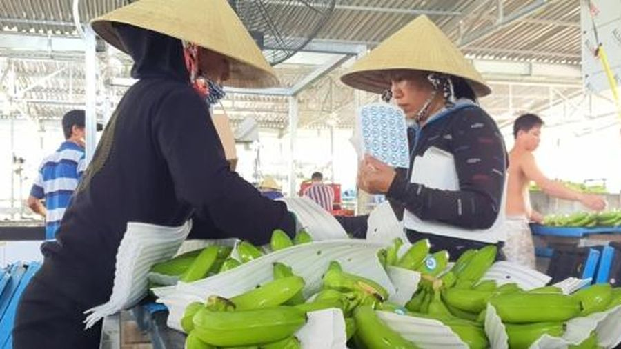 Quảng Ngãi xuất khẩu chuối sang Hàn Quốc, Trung Quốc