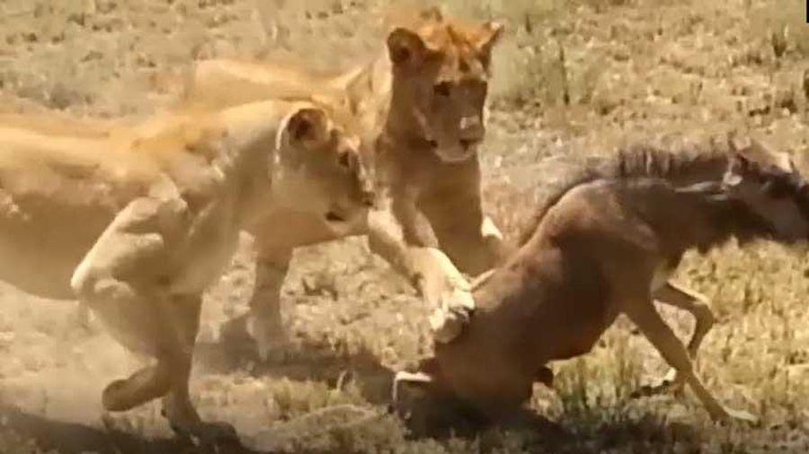 CLIP: Linh dương đầu bò 'dở sống dở chết' vì bị hai con sư tử hành hạ
