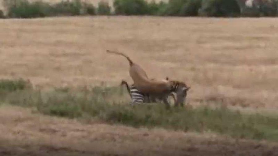 CLIP: Sư tử hạ gục ngựa vằn trong 'tích tắc'