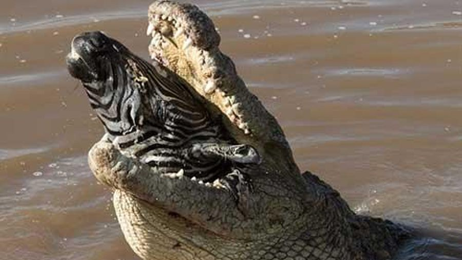 Cá sấu khổng lồ ngoạm trọn đầu ngựa vằn
