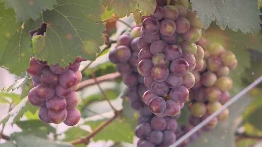 Hà Nội: Độc lạ mô hình trồng nho hạ đen không hạt