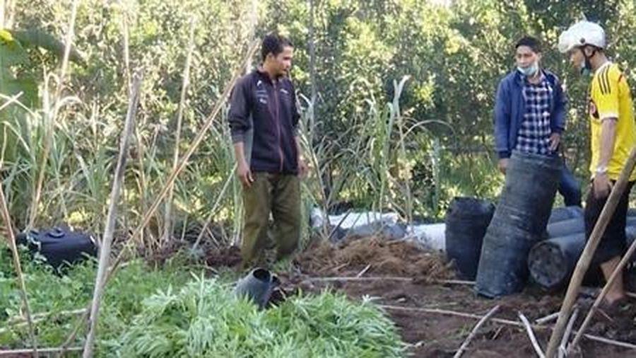 Trồng 304 cây cần sa trong vườn cam để 'gà ăn trị bệnh'