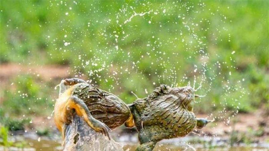 Ngộ nghĩnh màn đánh ghen 'kinh hoàng' của ếch yêu tinh