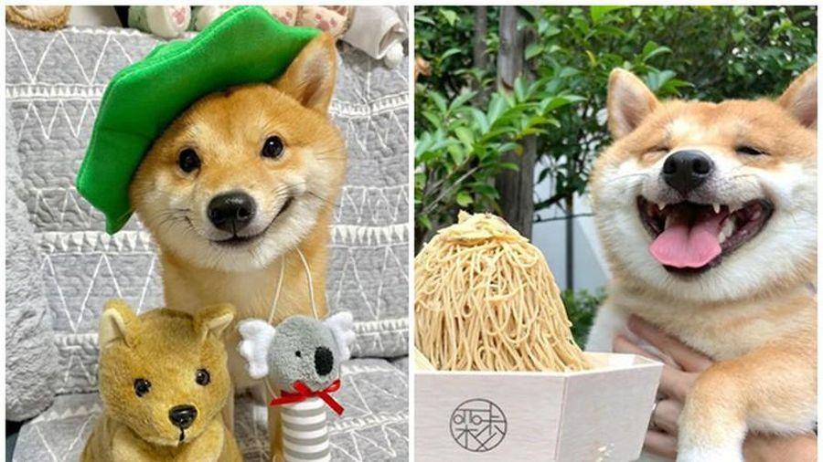 Chú chó Shiba chiếm sóng MXH nhờ biểu cảm thần thái nhìn là yêu