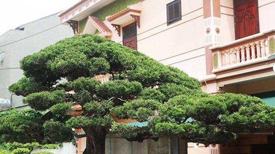 Chiêm ngưỡng cây duyên tùng 300 năm tuổi, giá 'ăn đứt' ngôi nhà biệt thự