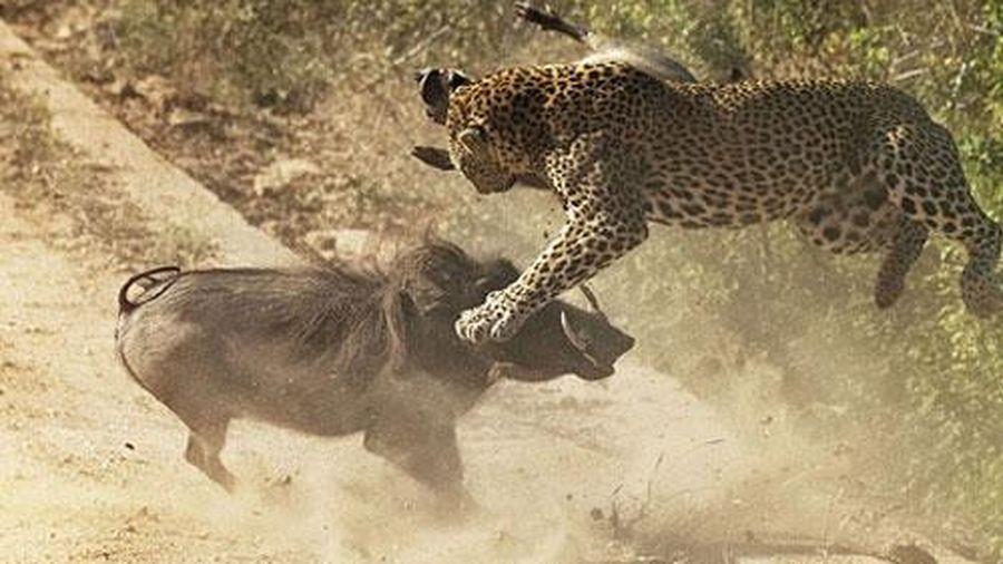 Lợn rừng dũng mãnh húc tung báo đốm cứu con