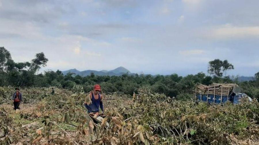 TT - Huế: Người dân lao đao vì cây cao su gãy đổ