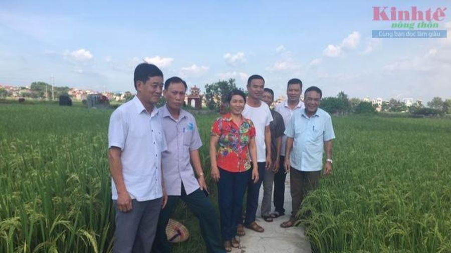 Bắc Ninh: Chuyển hướng sản xuất lúa sạch, chất lượng cao