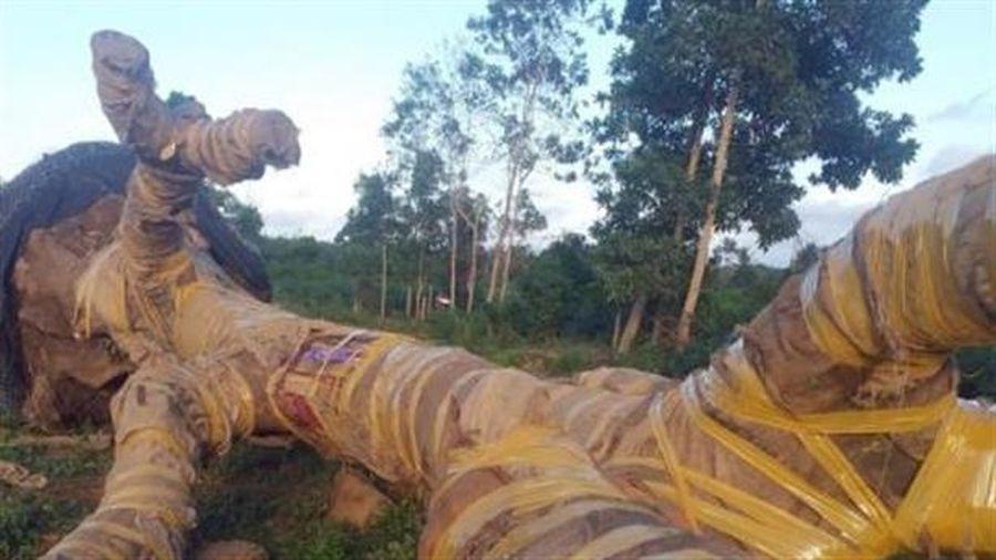 Tháo chạy khi bị phát hiện vận chuyển cây cổ thụ