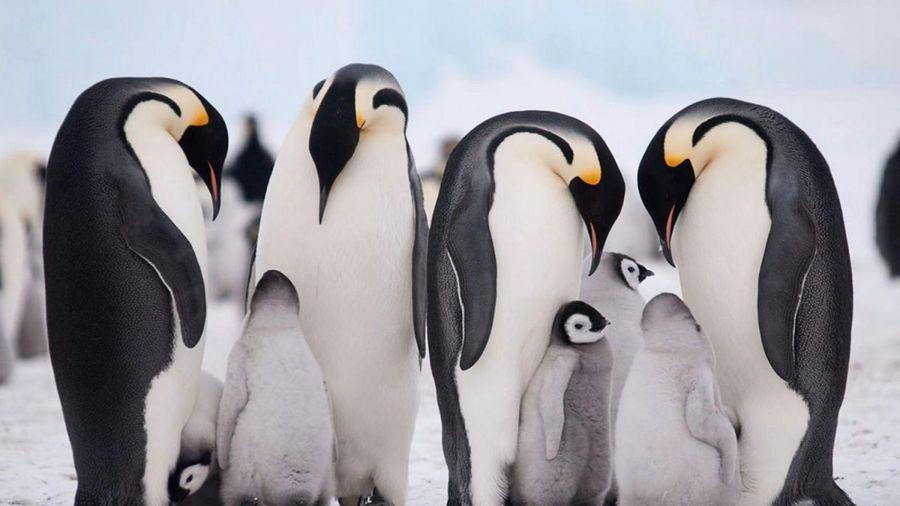 Khám phá thú vị về chim cánh cụt