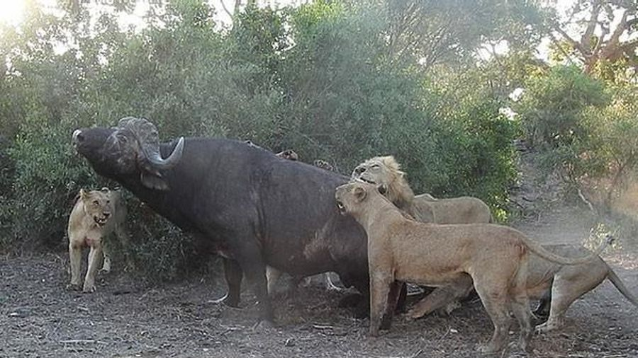 Mặc kệ người đứng nhìn, sư tử vẫn thản nhiên 'xẻ thịt' trâu rừng