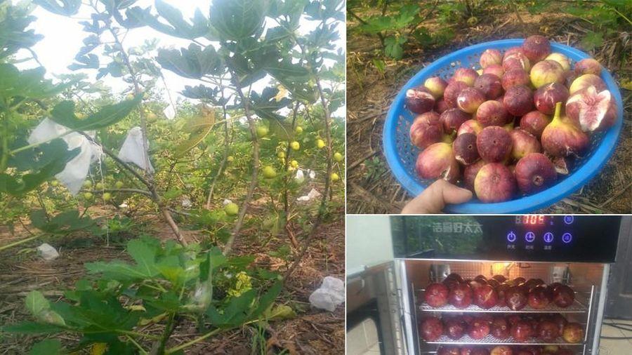 Nông dân Nghĩa Đàn trồng thử nghiệm thành công cây sung Mỹ