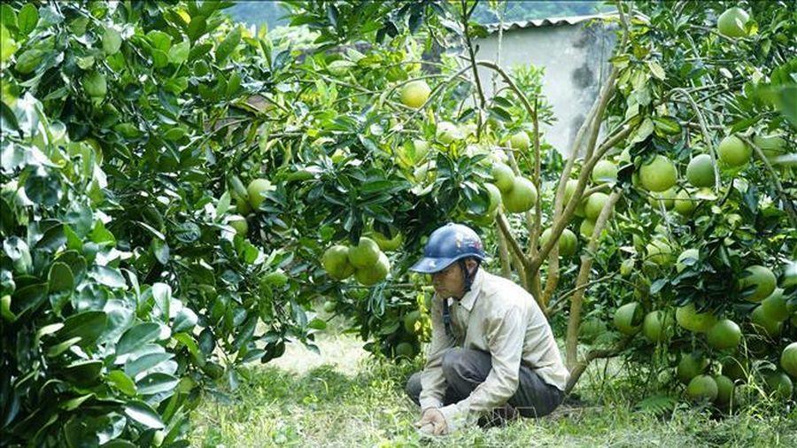 Xây dựng Mường Ảng thành vùng chuyên canh cây ăn quả