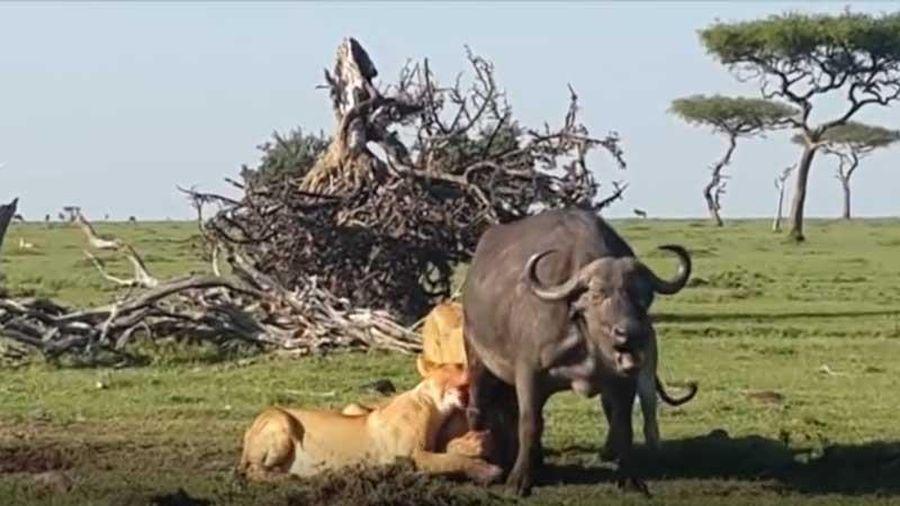 CLIP: Trâu rừng chết thảm khi bị 4 con sư tử tấn công