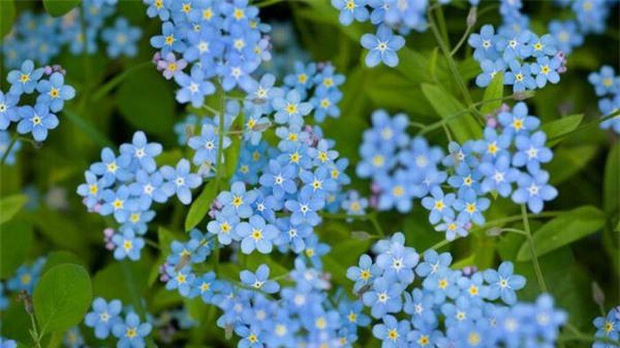 Cây độc: Loài hoa biểu tượng cho sự chung thủy như Lưu ly cũng chứa độc dược nguy hiểm