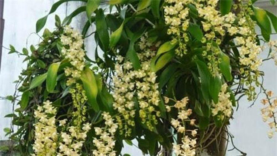 Kỹ thuật trồng hoa lan ghép gốc cây 'độc, lạ' và đẹp bất ngờ