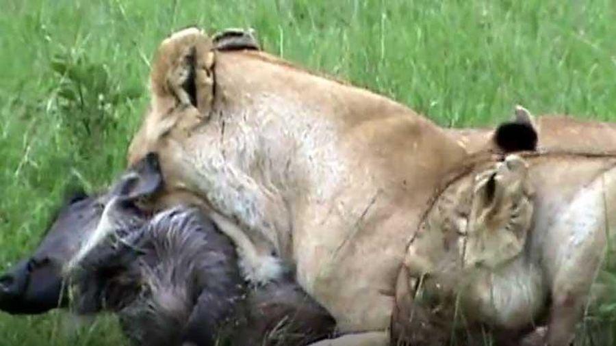 CLIP: Hai con sư tử cái xé xác lợn bướu