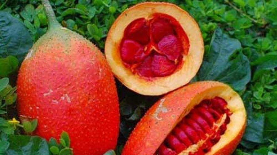 Vì sao hạt gấc được xem là vị thuốc quý trong Đông y?