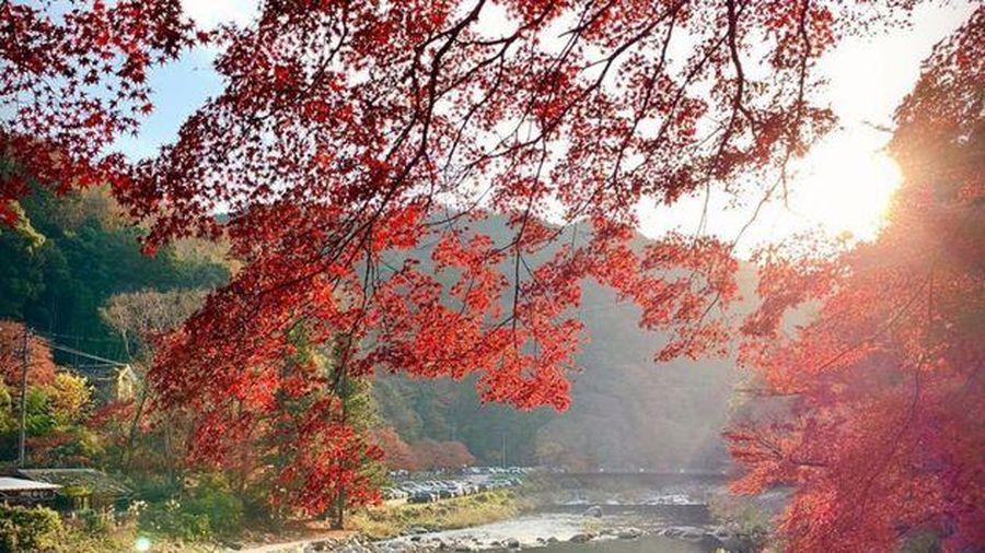 Rừng lá phong đỏ rợp trời thu Nhật Bản