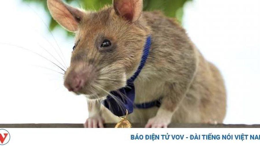Chuột dò mìn được vinh danh bất chấp thời của các thiết bị rà phá tiên tiến