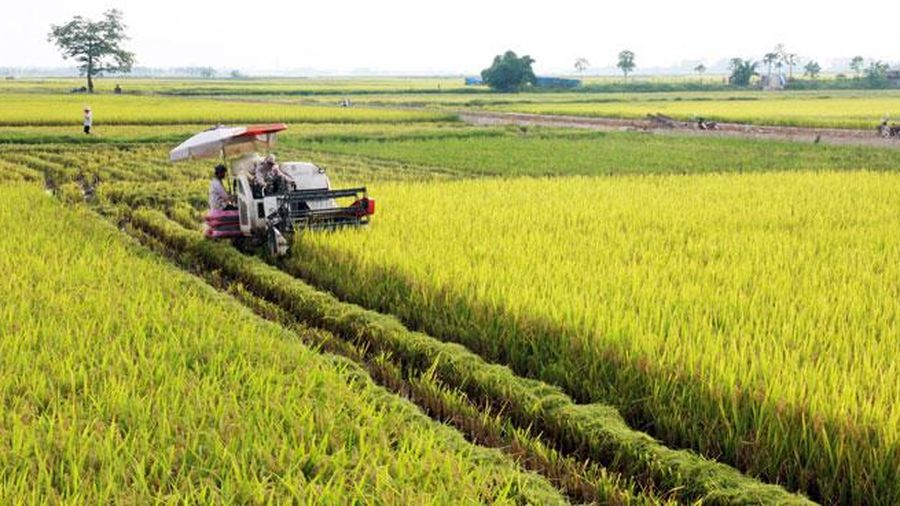 Hà Nội đã thu hoạch 60% diện tích lúa mùa