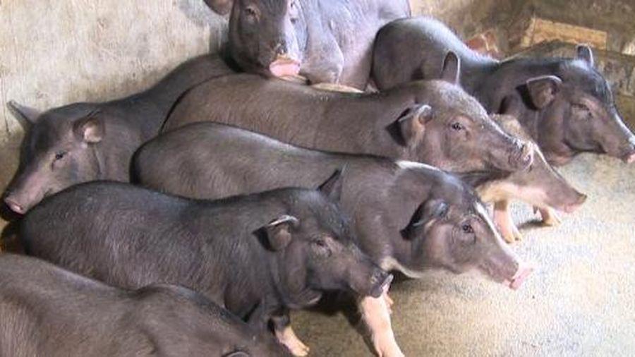 Nuôi lợn đen bản địa hiệu quả kinh tế cao