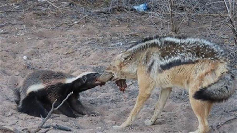 Chó rừng làm liều cướp mồi của lửng mật: Kết đắng
