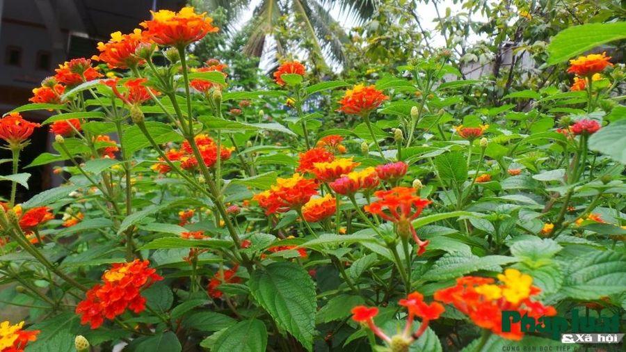 Hoa ngũ vị mãn nhãn dưới bàn tay lão nông