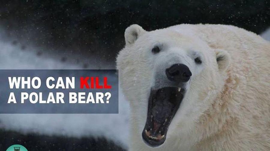 5 loài động vật có thể đánh bại gấu Bắc Cực