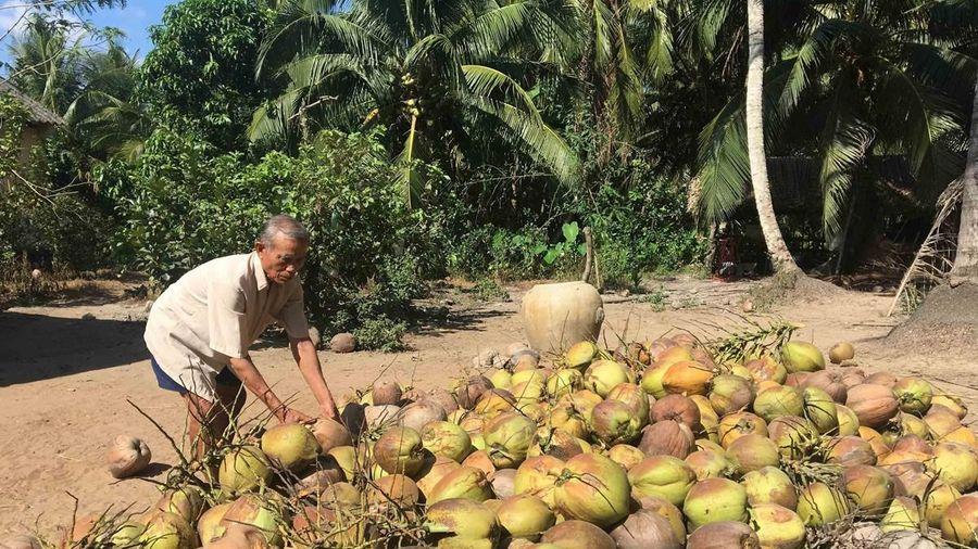 Tiền Giang: Giá dừa khô cao gấp 3-4 lần cùng kỳ năm trước