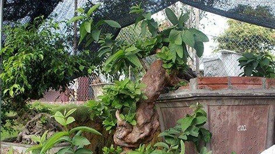 Đại gia Việt mê mẩn cây ổi mọc ngược độc nhất vô nhị có giá 'trên trời'