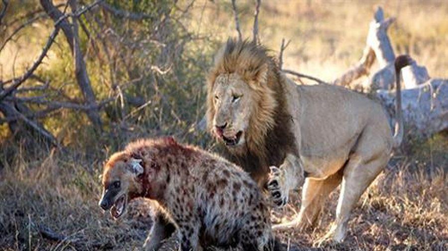 Rơi vào hàm sư tử, linh cẩu nhận kết thảm thương