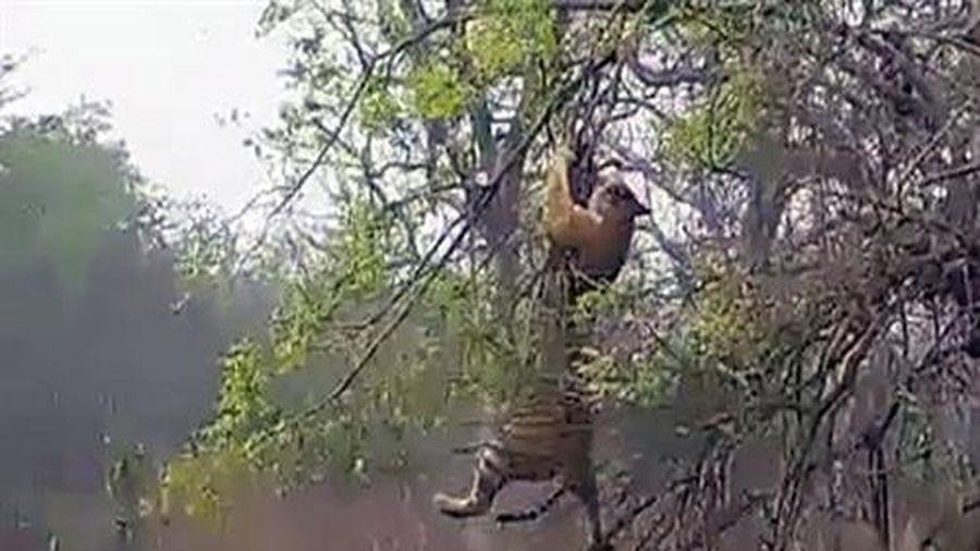 'Học đòi' leo cây bắt khỉ, hổ dữ nhận kết đớn đau