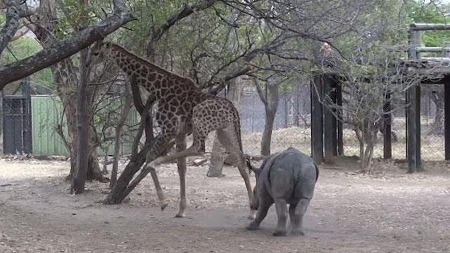 Hươu cao cổ tung cước khiến tê giác con 'chạy cắm đầu'