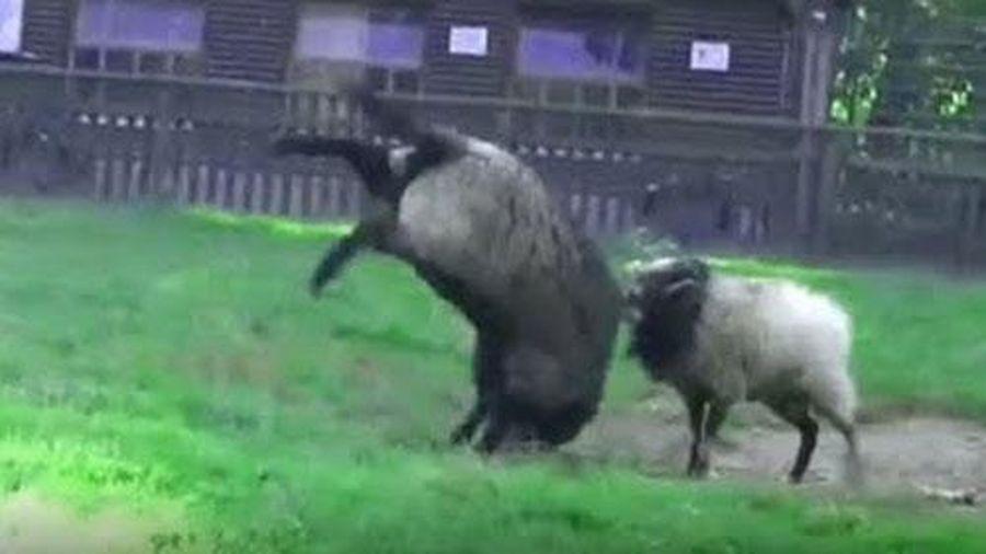 Chiêm ngưỡng những cú húc đáng sợ của các loài động vật