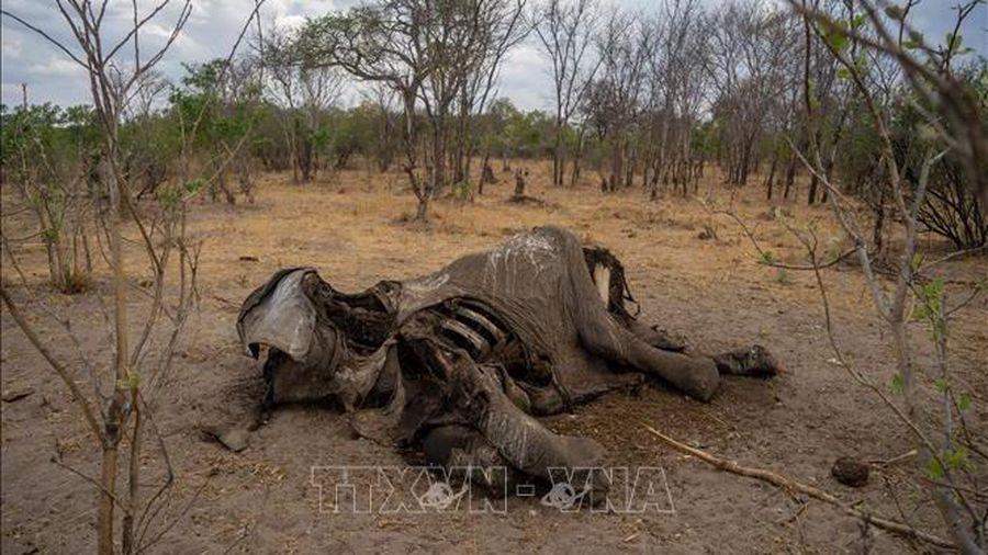 Voi chết hàng loạt chưa rõ nguyên nhân tại Zimbabwe