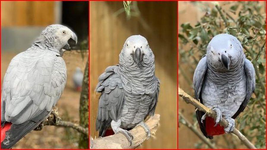 5 chú vẹt bị 'đuổi thẳng cổ' khỏi công viên vì dám dạy nhau... chửi thề