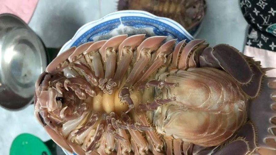Loài bọ biển hình thù kỳ dị, đắt hơn cả tôm hùm vẫn được săn lùng