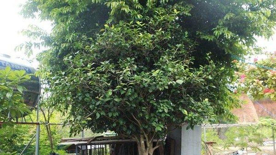 Choáng váng những cây trà nhìn như cây dại được ngã giá tiền tỷ