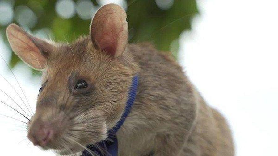 Clip: Chú chuột được trao huy chương vàng nhờ cứu người
