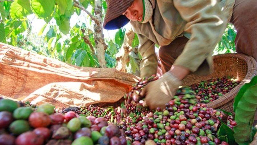 Giá cà phê hôm nay 30/9: Nguy cơ xuống dưới mốc 31.000 đồng/kg