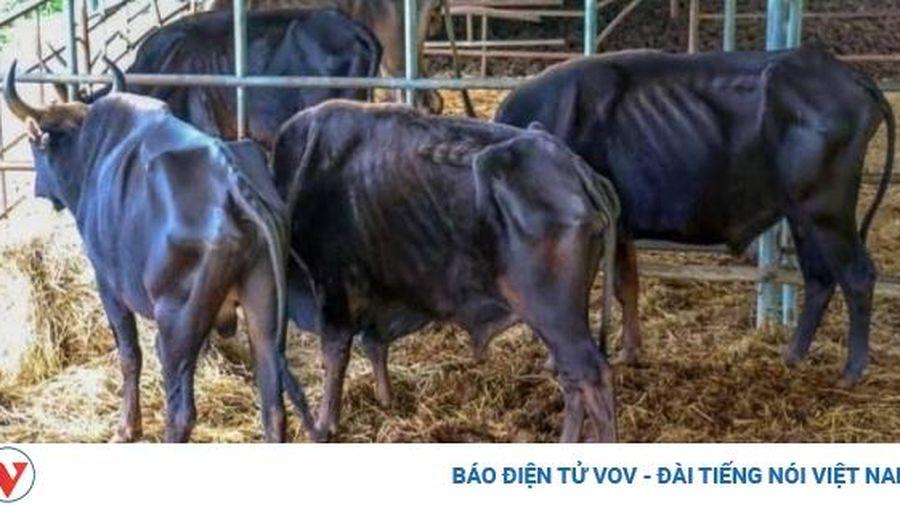 Nguy cơ mất hết đàn bò tót ở Vườn quốc gia Phước Bình