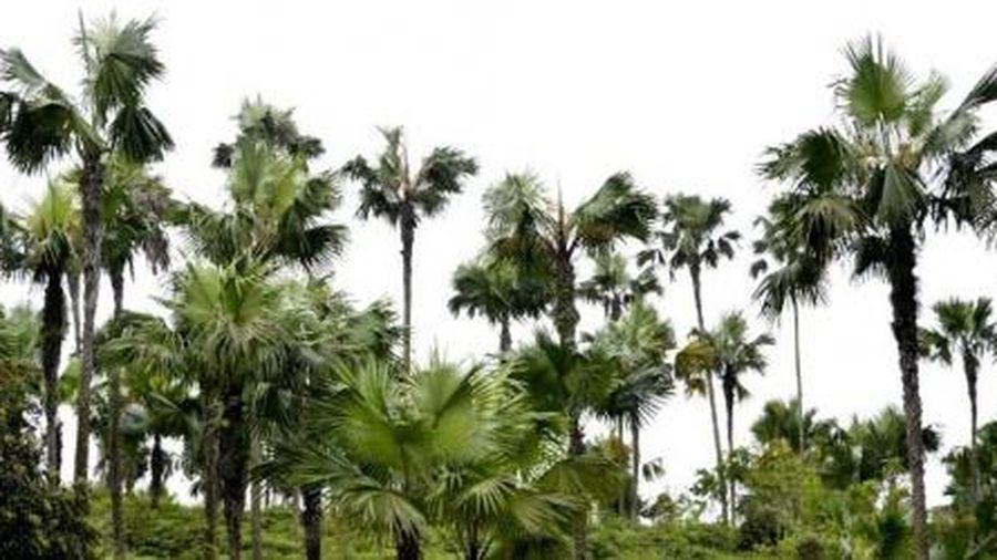 Phú Thọ đề xuất tự bỏ tiền trồng cây Cọ trên cao tốc Nội Bài – Lào Cai